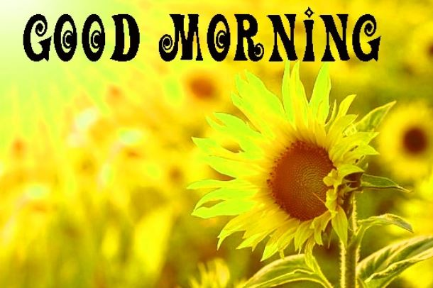 best good morning sunflower photo download in hd