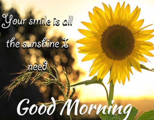 Sunflowers Good Morning images pics dp for whatsapp wishes blessing
