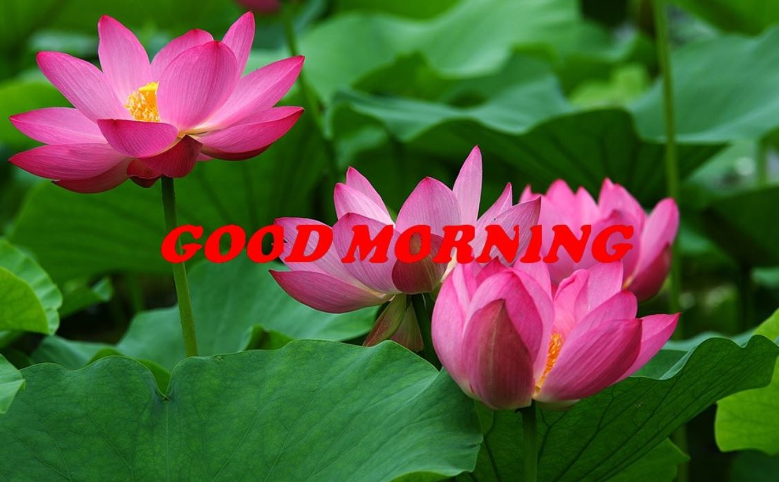 good morning images with pink rose flowers